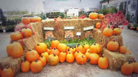 pumpkins for sale, garden centres with pumpkins, winnipeg pumpkins, garden centres in winnipeg with pumpkins, buy pumpkins