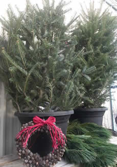 MINI TREE TOPPERS, CHRISTMAS TREE MINIS, CHRISTMAS TREE IN A POT, JENSEN NURSERY AND CHRISTMAS SHOP, WINNIPEG CHRISTMAS TREES