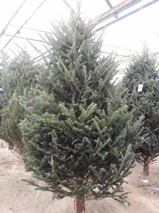 christmas trees, free delivery christmas trees, christmas trees winnipeg, garden centers, indoor christmas trees, christmas tree set up service