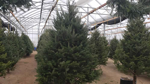 christmas trees, christmas trees free delivery, free christmas tree delivery winnipeg