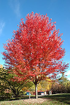 trees, garden centers with trees, trees for sale, trees with fall color, jensen nursery and garden center, maples