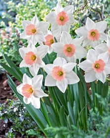 Pink Ribbon Narcissus - Jensen's Nursery and Garden Centre - Garden Center - Winnipeg - Manitoba