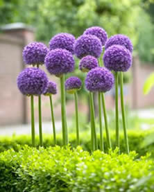 Gladiator Allium - Jensen's Nursery and Garden Centre - Garden Center - Winnipeg - Manitoba