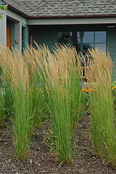 Karl Forester Reed Grass - Jensen's Nursery and Garden Centre - Garden Center - Winnipeg – Manitob