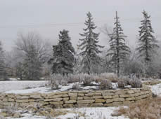 Spruce Trees in Winter - Jensen's Nursery and Garden Centre - Container Gardening - Winnipeg - Manitoba
