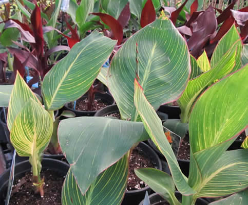jensen nursery and garden centre, greenhouse winnipeg, tropical plants, cannas, annuals, garden centres with tropical plants