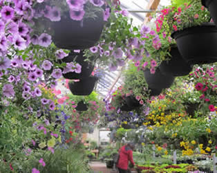 annuals, hanging baskets, outdoor deluxe annual containers, greenhouse winnipeg, flowers winnipeg, hanging baskets winnipeg, jensen nursery and garden center, winnipeg greenhouse