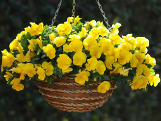 cool wave pansy, annual baskets, spring bloomers, jensen nursery and garden centre