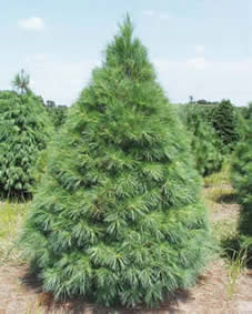 White Pine - Jensen's Nursery and Garden Centre - Garden Center - Winnipeg - Manitoba